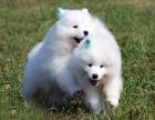 珠海哪里买萨摩耶较好 纯种萨摩耶 宠物狗萨摩耶