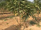怎样选购斯基纳樱桃苗(种植管理技术)斯基纳樱桃苗供应商