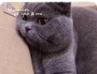 包健康纯种猫咪英短蓝猫渐层美短
