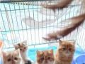 出售小可爱萌萌哒短毛猫猫咪 加菲体型肥大,健康活公母都有