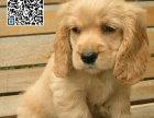 哪里出售可卡犬 纯种可卡犬多少钱