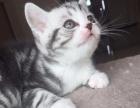 自家饲养英短蓝猫和美短虎斑,品相好,血统纯,可看猫