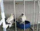 燕子观赏鸽红燕子黄燕子斑点燕子出售