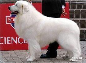 大白熊犬价格 大白熊犬多少钱 大白熊犬图片 大白熊领养转让