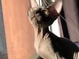 斯芬克斯加拿大无毛猫活体小猫咪幼崽德文卷毛猫
