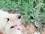 襄县出售16个月母金毛一只。