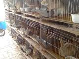 大理弥渡种兔的养殖新西兰种兔电话议价
