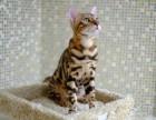 出售精品孟加拉豹猫/水貂色/乌贼色/多色可选/包纯种健康
