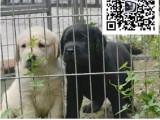 哪里出售拉布拉多犬 纯种拉不拉多多少钱