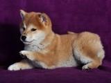 佛山养狗场出售多种宠物狗 纯种柴犬多少钱一只 多窝挑选
