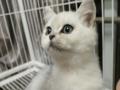 蓝白渐层幼猫出售