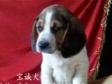 出售精品小猎犬米格鲁比格犬机灵活泼反应快血统纯品相佳热卖中