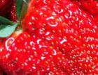 本地甜草莓 现买现摘 送礼自用佳品
