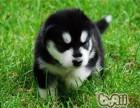 犬舍繁殖-纯种阿拉斯加-威武雄壮-超大骨架-高品质