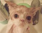 宠物猫咪洗澡寄养