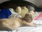 家养宠物猫 折耳银渐层 英短