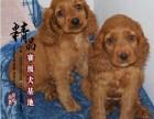 上海哪里卖纯种可卡犬幼犬