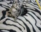 自家猫舍繁育虎斑猫 包纯种 包健康