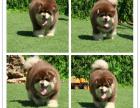 大骨架大毛量的阿拉斯加幼犬是超大型很拉风的狗狗