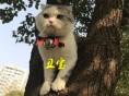 灰色折耳猫价格 淘宝店铺搜:双飞猫