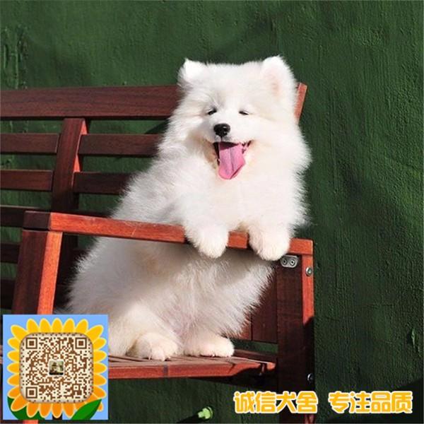 出售熊版阿拉斯加三火蓝眼哈士奇澳版萨摩耶微笑天使肉嘴松狮幼犬