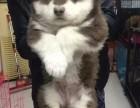 西安阿拉斯加 宠物狗