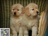 在哪里买纯种的金毛幼犬 金毛幼犬最低多少钱