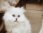纯正家养%银灰渐层金吉拉幼猫支持体检 九十天包退换
