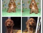 出售纯种赛级品相可卡幼犬免疫驱虫齐全健康签