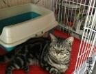 【喵大仙】出售各类猫咪幼崽 精品种公借配