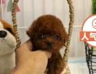 各体型纯种泰迪熊幼犬健康有保障高品质