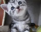 家庭繁殖纯种美国短毛猫 虎斑斑纹清晰漂亮 猫咪健康找主人