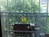 黄牡丹鹦鹉一只公的带笼低价处理80元