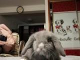 上海垂耳兔,猫猫兔,侏儒兔自家养殖兔子 垂耳价格120