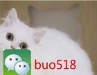 七夕纯种健康 英短 美短 折耳猫 送猫碗 猫棒 猫粮