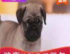 双血统巴哥幼犬,质保三个月
