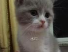 晴天猫舍,家庭繁育赛级猫,渐层折耳蓝猫。价格美丽