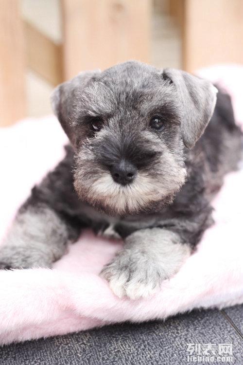 出售雪纳瑞 雪纳瑞多少钱 雪纳瑞图片 雪纳瑞犬领养转让
