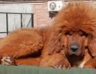 郑州养殖场直销,法牛犬,罗威纳,藏獒,等多品种