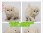 只售精品布偶猫 波斯猫 英短 美短 金吉拉 折耳 暹罗猫