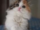 纯种健康 漂亮可爱温顺 苏格兰折耳猫