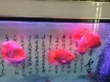 便宜甩4条鹦鹉财神鱼20厘米左右