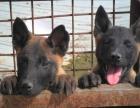 宁波将军犬业出售德牧,罗威那,马犬。狗场种公对配种