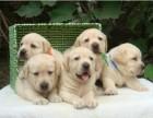 衡水哪有拉布拉多犬卖 衡水拉布拉多犬价格 拉布拉多犬多少钱