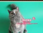 赛级英短猫蓝乳双色小美女-思晴名猫坊