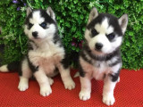 本地出售包健康純種 三火哈士奇犬 協議有保障 公母多只可選
