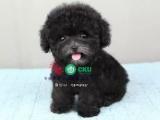 重庆哪里有泰迪最便宜的泰迪多少钱