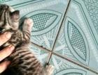 可爱的虎斑宝宝找新家