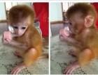 山东省日照市哪里有卖袖珍石猴宠物猴