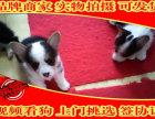 家庭繁殖的柯基犬,双色三色的都有,终身包纯